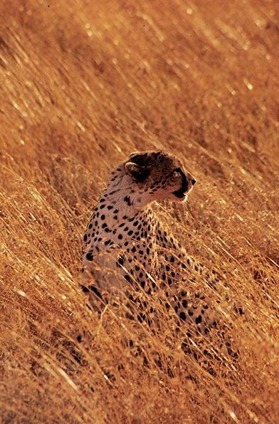 Cheetah Serengeti Tanzania Polydefkis Stathopolous